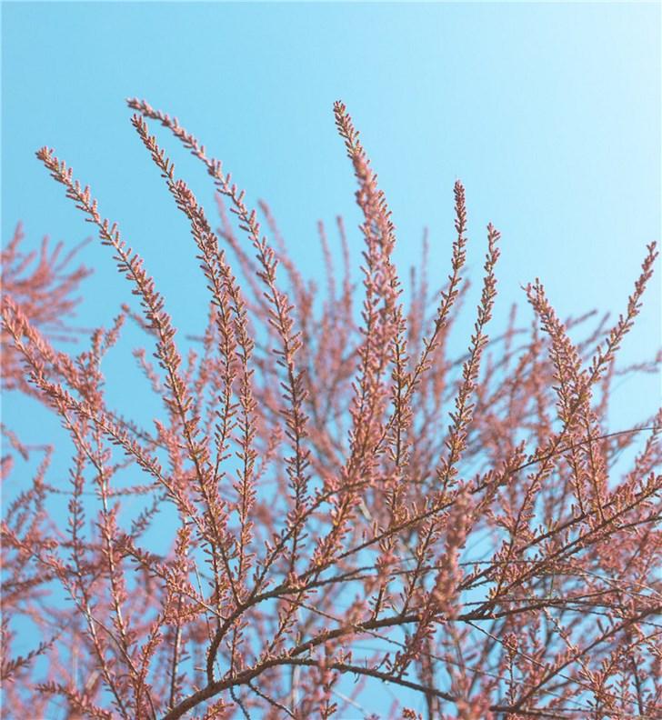 支付宝蚂蚁森林新树种红柳上线:比花棒还好看